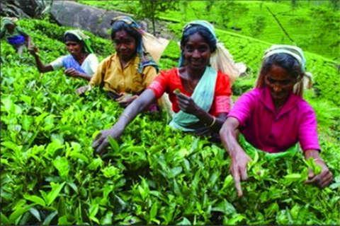 斯里兰卡8天.茶园探秘<世界文化遗产,锡兰茶园品正宗红茶,海边火车>