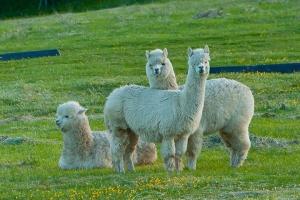 阿德莱德-【尚·深度】澳洲南部(阿德莱德)6天*纯玩*广州往返<羊驼农场,芭萝莎谷品酒,德式古老乡村>