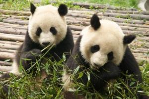 成都-【成都当地玩乐】熊猫基地1天游(车位+门票)