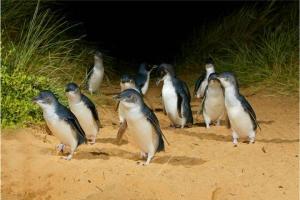 澳洲-【当地玩乐】澳洲墨尔本企鹅岛半日游