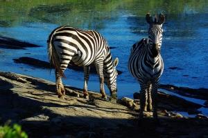 肯尼亚-【精品小团】肯尼亚13天*动物追踪<全程7座越野车,三晚马拉河营地酒店,英女王树顶酒店,特色烤肉餐晚餐,增加三段内陆航班接驳>