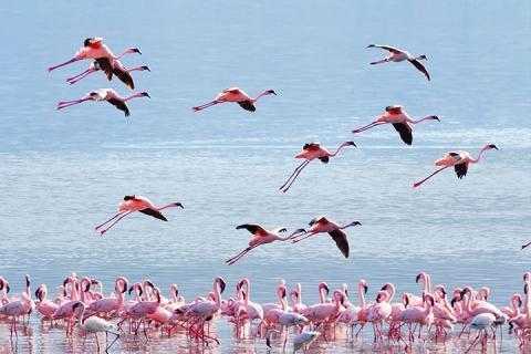 肯尼亚-【誉·猎奇】肯尼亚12天*全景动物追踪*广州往返<全程越野车,国家公园全景,马赛马拉园区酒店,博格利亚湖温泉酒店,丛林徒步>