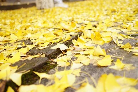 【生态】清远阳山杏韵小江银杏林2天*金子山原生态旅游风景区<秋季限定>