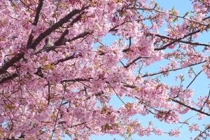 日本【移动-【尚·深度】日本东京、富士、伊豆、镰仓6天*早樱限定<河津樱花节,江之岛>