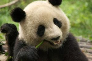 四川-成都【当地玩乐】代订熊猫基地门票*等待确认