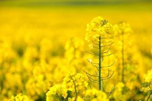美食-【赏花·美食】清远飞来湖湿地公园、三坑安庆围赏花1天*油菜花*格桑花