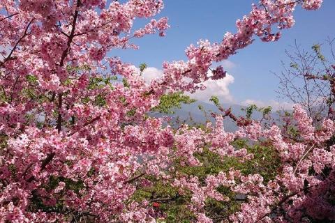 【品樱知樱】从化1天.天适樱花园赏樱花.美丽乡村莲麻小镇