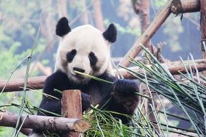 成都-【成都自由行】4晚当地高级酒店+都江堰熊猫乐园熊猫饲养体验员1天+广州双飞5天
